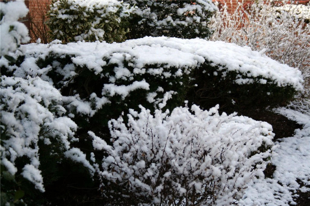 snow lining the bushes